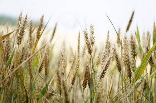Man sieht die Getreide-Ähren.